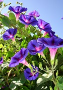 11th Green Photos - Deep Purple Morning Glory Climbing Plant by Tracey Harrington-Simpson