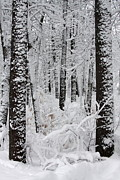 Trees - Deep Snow In The Forest by Lynn-Marie Gildersleeve