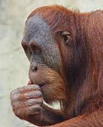 Orang-utans Posters - Deep Thinker Junior Poster by Margaret Saheed