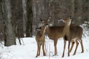 Deer Affection Print by Karol  Livote