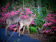 Crystal Joy Photography - Deer And Azaleas