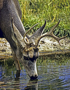 Mule Deer Buck Photograph Photos - Deer Drinking  Water by Harry Lamb