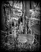 Whitetail Digital Art - Deer Family  by Sheri McLeroy