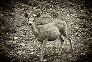 Best Sellers Prints - Deer in Black and White Print by Melany Sarafis
