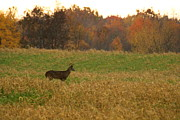 Amanda Kiplinger - Deer in Field