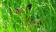 Hiding Photos - Deer in tall grass by David Lee Thompson