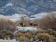 Mule Deer Herd Photograph Prints - Deer In Winter Print by Deborah Moen