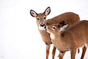 Karol  Livote - Deer Kisses