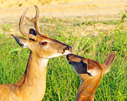 Evansville Metal Prints - Deer Love Metal Print by Greg Hagan