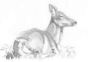 Relaxing Drawings - Deer lying down drawing by Mike Jory