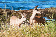 California Tourist Spots Prints - Deer on the Beach at Point Lobos CA Print by Author and Photographer Laura Wrede