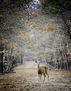Vicki Jauron Metal Prints - Deer Path Metal Print by Vicki Jauron