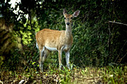 Ruby Del Angel - Deer