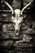 Tim Framed Prints - Deer Skull  Framed Print by Tim Gainey