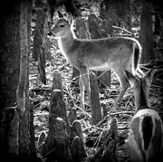 Whitetail Digital Art - Deerly Glow by Sheri McLeroy