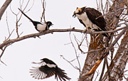 Magpies Photos - Defending Dinner by Kevin  Dietrich