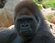 Ape. Great Ape Prints - Defiant Silverback Print by Chris  Brewington Photography LLC