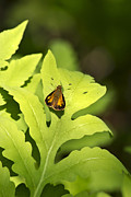 Butterfly Digital Art Posters - Delaware Skipper Poster by Christina Rollo