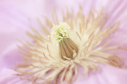 HJBH Photography - Delicate and Soft Pink Clematis