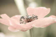 Spa Wall Decor Prints - Delicate Anemone Print by Julie Palencia