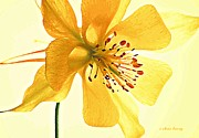 Windflower Prints - Delicate Columbine  Print by Chris Berry