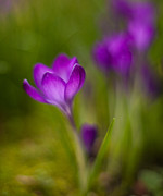 Crocus Flowers Prints - Delicate Crocus Light Print by Mike Reid
