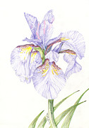 Bright Drawings Acrylic Prints - Delicate Iris Acrylic Print by Michael Shegrud