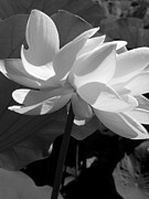 Lotus Full Bloom Prints - Delicate Lotus Print by Larry Knipfing