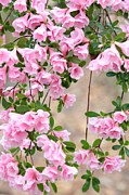 Delicate Pink Azaleas Print by Carol Groenen