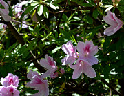 Eva Thomas - Delicate Pink Azaleas