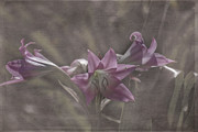 Judy Hall-Folde - Delicate Pink Lilies