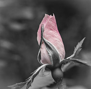 Single Rose Stem Photos - Delicate Pink Rosebud by Carolyn Marshall