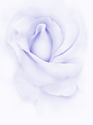Purple Roses Photo Prints - Delicate Purple Rose Flower Print by Jennie Marie Schell