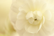 HJBH Photography - Delicate Ranunculus