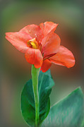 Canna Posters - Delicate Red-Orange Canna Blossom Poster by Linda Phelps