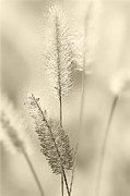 Delicate Sweetgrass Print by Heiko Koehrer-Wagner