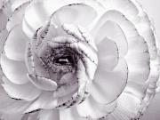 Black-and-white Posters - Delicate - White Rose Flower Photograph Poster by Artecco Fine Art Photography - Photograph by Nadja Drieling