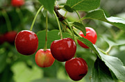 Fruit Tree Art Photos - Delicious Cherries by Sandy Keeton