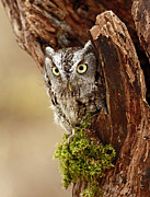 Shelley Myke Art - Delighted by the Eastern Screech Owl by Inspired Nature Photography By Shelley Myke