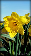 Christopher Fridley Prints - Delightful Daffodil Print by Christopher Fridley