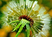 Irregular Prints - Delightful Dandelion Print by Robert Harmon