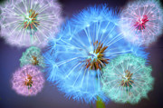 Colour Digital Art Prints - Delightful Dandelions Print by Donald Davis