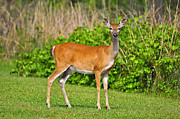 Whitetailed Deer Posters - Delightful Doe Poster by Al Powell Photography USA