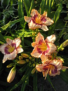 Peach Originals - Delightful Peach Lilies by Elisabeth Ann