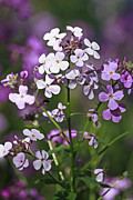 Shelley Myke Prints - Delightful Summer Phlox in a Meadow Print by Inspired Nature Photography By Shelley Myke