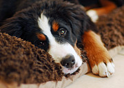 Bernese Photos - Delilah by Lisa  Phillips