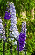 Delphinium Framed Prints - Delphinium 2 Framed Print by Steve Harrington