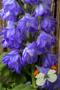 Springtime Photos - Delphinium and butterfly by Garry Gay