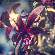 Den Prints - Dendrobium Black Spider Orchid Hawaii Print by Sharon Mau
