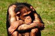 Nick  Biemans - Depressed Chimpanzee